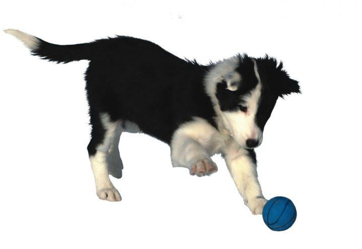 Stimuluskontroll vs. frivillig adferd hos klikkerhunder
