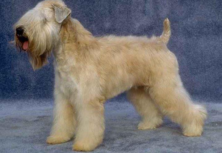 Irish softcoated wheaten terrier