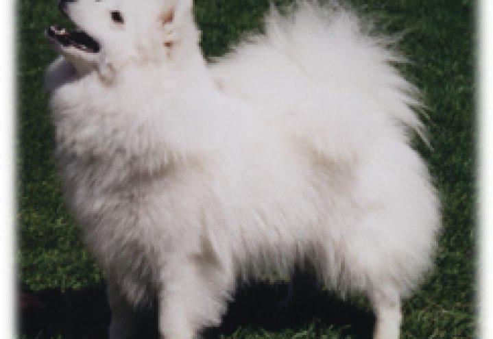 Japansk spisshund