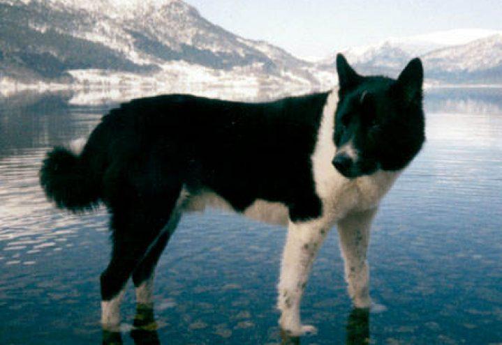 Karelsk bjørnhund