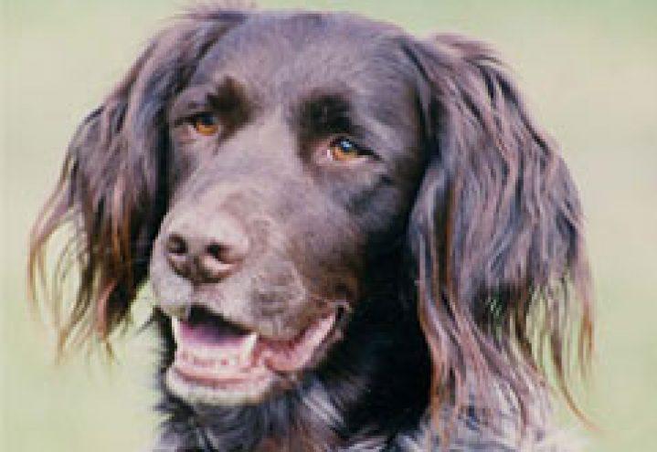 Vorstehhund langhåret