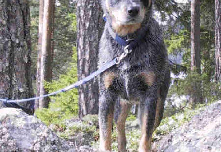 Australsk cattledog