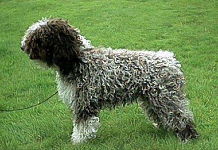 Spansk vannhund