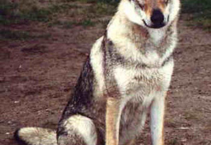 Tsjekkoslovakisk ulvehund