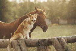 Crossover-hunder (og -hester)