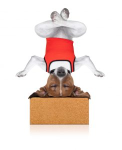 yoga dog sitting relaxed with closed eyes thinking deeply on a brick